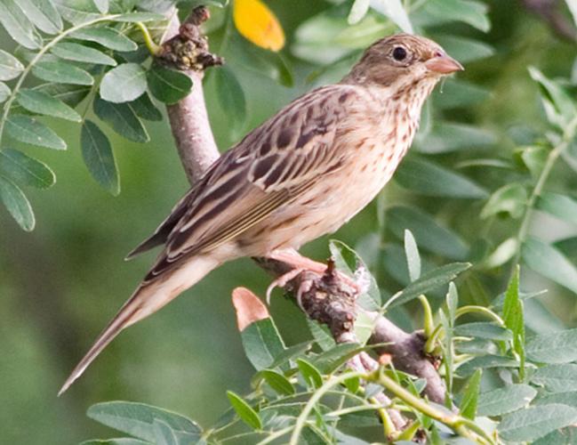 Burung Ortolan