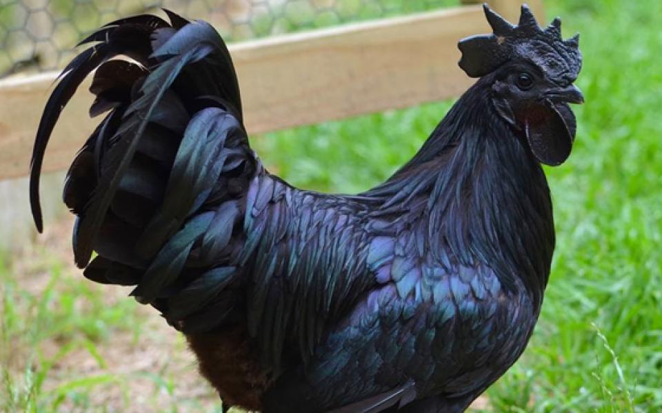 Populer di Amerika, Ayam Cemani Ternyata Punya 6 Hal Ini!
